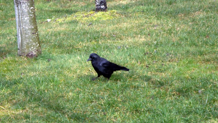 corvid in the wild.jpg