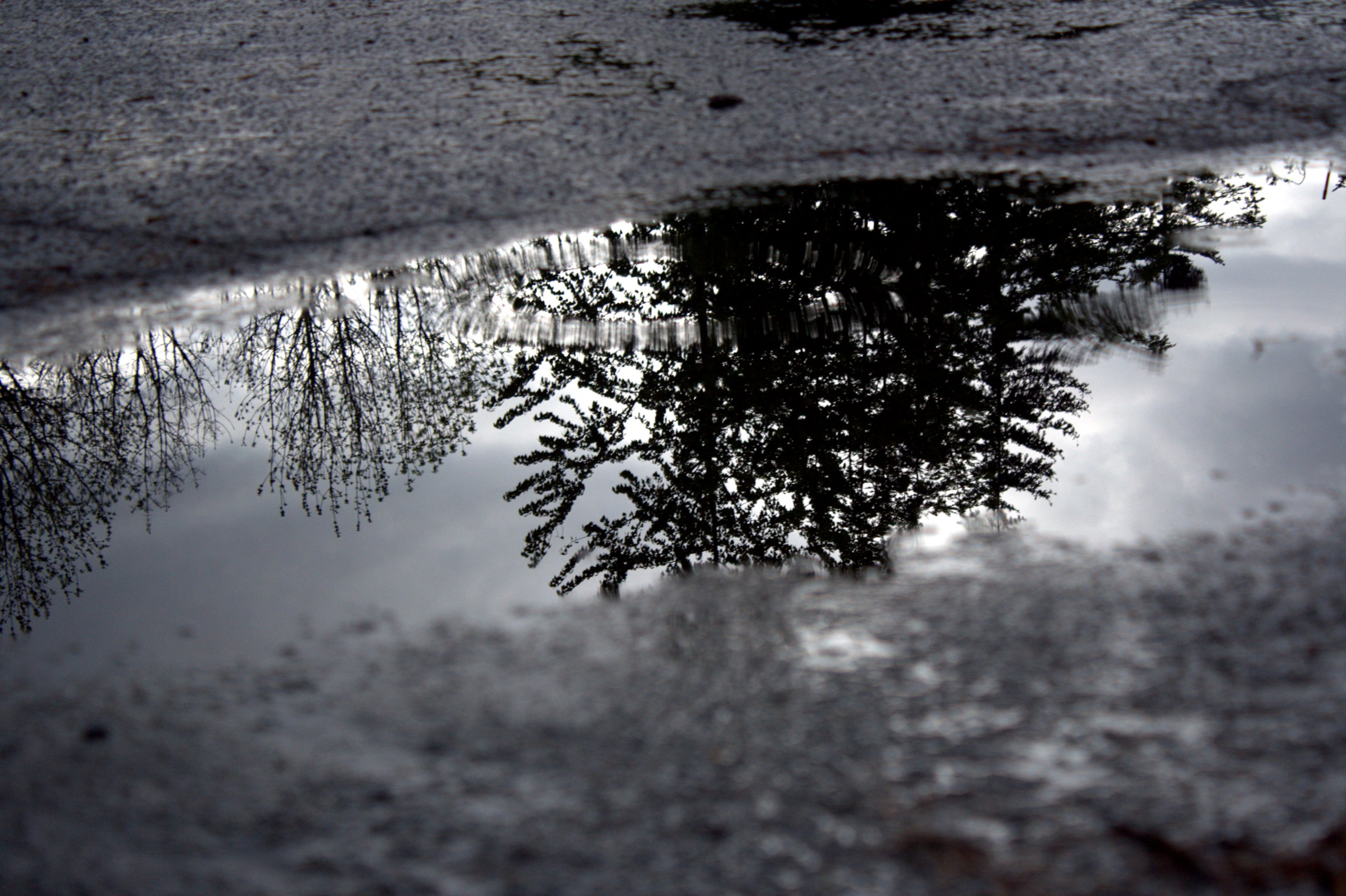 trees in the puddle