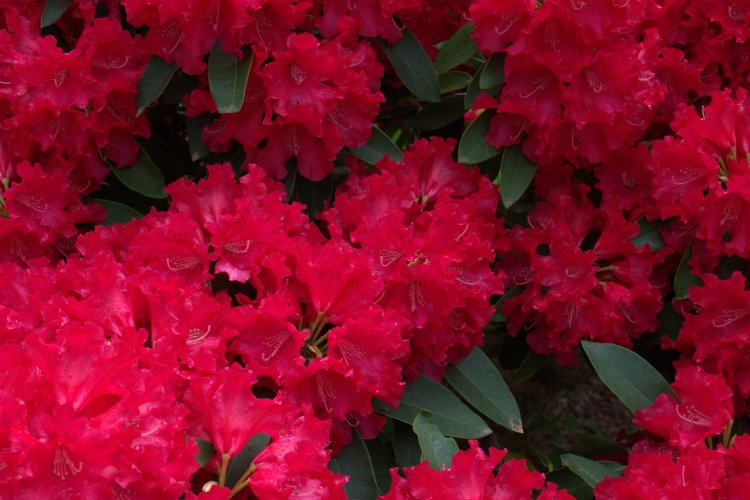 bush of red flowers.jpg