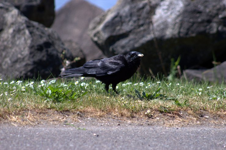 crow eating clam