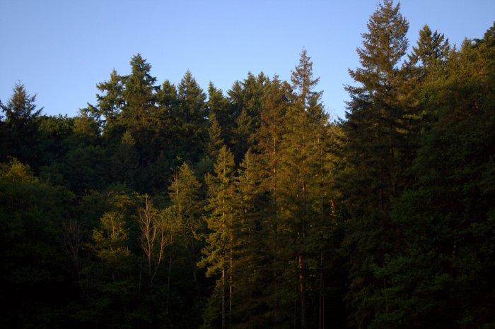 mayrigold trees.jpg